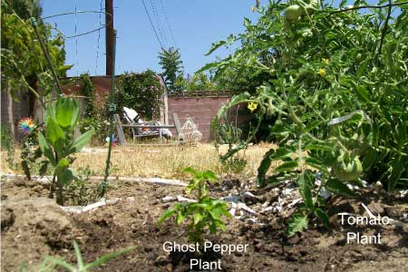 A Ghost Pepper Plant In North Hollywood