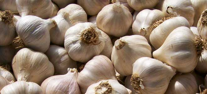 Can I Grow Garlic on My New Farm?